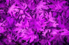 Alfombra de las hojas ultravioletas Fotos de archivo libres de regalías