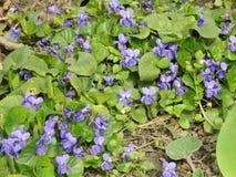 Alfombra de las violetas de jardín, naturaleza de la primavera Fotografía de archivo libre de regalías