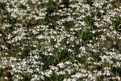 Alfombra de los snowdrops comunes (nivalis de Galanthus) Imagen de archivo libre de regalías