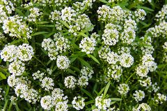 Alfombra de pequeñas flores fragantes blancas - alissum Imagen de archivo