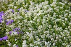 Alfombra de pequeñas flores fragantes blancas - alissum Imagen brillante del verano del jardín Se enmascara el fondo Imágenes de archivo libres de regalías