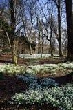 Alfombra de snowdrops debajo de árboles en primavera Fotos de archivo