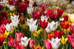 Alfombra de tulipanes de diverso primer de los colores Foto de archivo