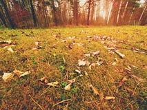 Alfombra del bosque Las hojas viejas en musgo seco en bosque secan el musgo polvoriento, agujas secas del pino Fotos de archivo libres de regalías