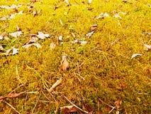 Alfombra del bosque Las hojas viejas en musgo seco en bosque secan el musgo polvoriento, agujas secas del pino Foto de archivo