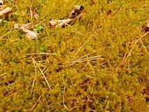 Alfombra del bosque Las hojas viejas en musgo seco en bosque secan el musgo polvoriento, agujas secas del pino Imagenes de archivo