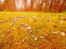 Alfombra del bosque Las hojas viejas en musgo seco en bosque secan el musgo polvoriento, agujas secas del pino Fotografía de archivo libre de regalías