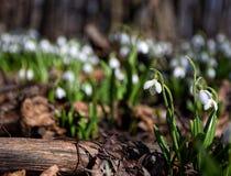 Alfombra del plicatus de Galanthus de los snowdrops en bosque de la primavera Imagenes de archivo
