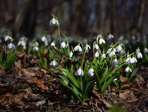 Alfombra del plicatus de Galanthus de los snowdrops en bosque de la primavera Imagen de archivo