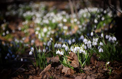 Alfombra del plicatus de Galanthus de los snowdrops en bosque de la primavera foto de archivo