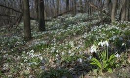 Alfombra del plicatus de Galanthus de los snowdrops en bosque de la primavera fotos de archivo