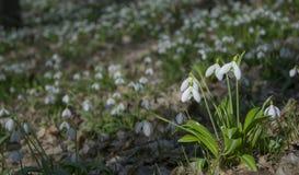 Alfombra del plicatus de Galanthus de los snowdrops en bosque de la primavera imágenes de archivo libres de regalías