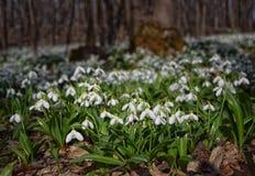 Alfombra del plicatus de Galanthus de los snowdrops en bosque de la primavera Imagen de archivo libre de regalías