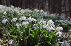 Alfombra del plicatus de Galanthus de los snowdrops en bosque de la primavera Fotos de archivo libres de regalías