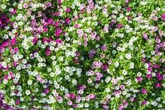 Alfombra floral de pensamientos coloreados multi Foto de archivo