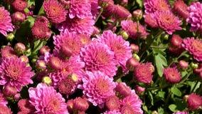 Alfombra floral hermosa de crisantemos almacen de metraje de vídeo