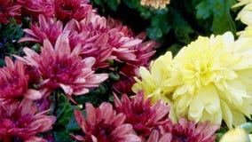 Alfombra floral hermosa de crisantemos metrajes