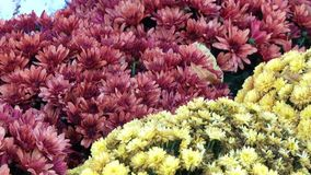Alfombra floral hermosa de crisantemos almacen de video