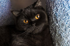 Alfombra hermosa del gato negro Foto de archivo libre de regalías