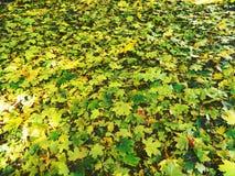 Alfombra otoñal colorida de hojas caidas Foto de archivo