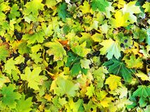Alfombra otoñal colorida de hojas caidas Fotos de archivo libres de regalías