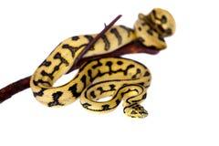 Alfombra Python de Jaguar de la selva en blanco Foto de archivo