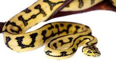 Alfombra Python de Jaguar de la selva en blanco fotos de archivo libres de regalías