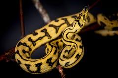 Alfombra Python de Jaguar de la selva en negro Fotografía de archivo libre de regalías