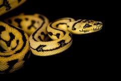 Alfombra Python de Jaguar de la selva en negro fotos de archivo