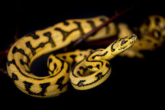 Alfombra Python de Jaguar de la selva en negro fotos de archivo libres de regalías
