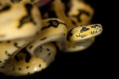 Alfombra Python de Jaguar de la selva en negro foto de archivo libre de regalías