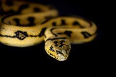 Alfombra Python de Jaguar de la selva en negro Imagen de archivo