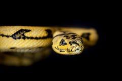 Alfombra Python de Jaguar de la selva en negro Imágenes de archivo libres de regalías