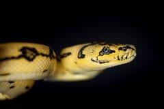 Alfombra Python de Jaguar de la selva en negro foto de archivo