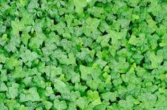 Alfombra verde de la hiedra Fotografía de archivo libre de regalías