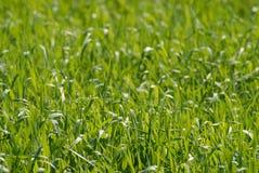 Alfombra verde sólida de la hierba joven de la primavera imagenes de archivo