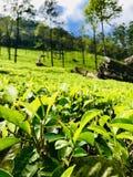 Alfombra verde: té de Ceilán fotos de archivo libres de regalías