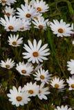 Alfombras de margaritas blancas felices con los botones risuenos en los centros foto de archivo libre de regalías