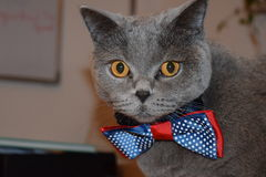 Alfred - British shorthair. Alfred is a special cat! Very posh Stock Photos