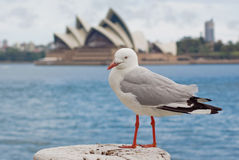 Alfred the Seagull's World Tour: Sydney. A seagull siting on a bollard with the Opera House as a backdrop Royalty Free Stock Image