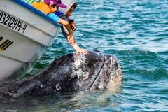 ALFREDO LOPEZ MATEOS - MEXICO - FEBRUARI, 5 2015 - grijze walvis die een boot naderen Royalty-vrije Stock Foto