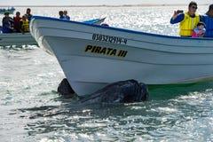 ALFREDO LOPEZ MATEOS - MEXICO - FEBRUARI, 5 2015 - grijze walvis die een boot naderen Stock Foto