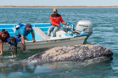 ALFREDO LOPEZ MATEOS - MEXICO - FEBRUARY, 5 2015 - grey whale approaching a boat. ALFREDO LOPEZ MATEOS - MEXICO - FEBRUARY, 5 2015 - hands while caressing and royalty free stock photo