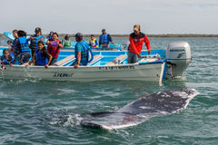 ALFREDO LOPEZ MATEOS - MEXICO - FEBRUARY, 5 2015 - grey whale approaching a boat Stock Photos