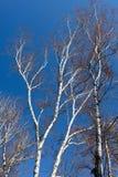 Algún árbol del abedul en fondo del cielo azul Fotografía de archivo libre de regalías
