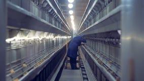 Algún bebé que los pollos están consiguiendo comprobó por un trabajador de sexo femenino de la casa de las aves de corral almacen de video
