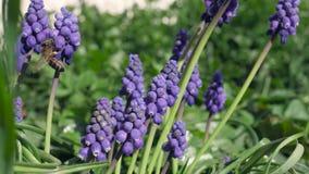 Algún jacinto de uva violeta en un jardín almacen de video