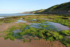 Alg i stranden Arkivfoto