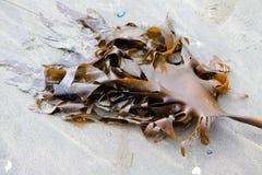 Alg på stranden Arkivfoton