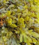 Alga Foto de Stock